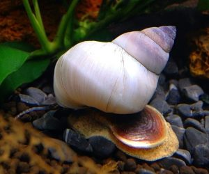 Aquatic Snails